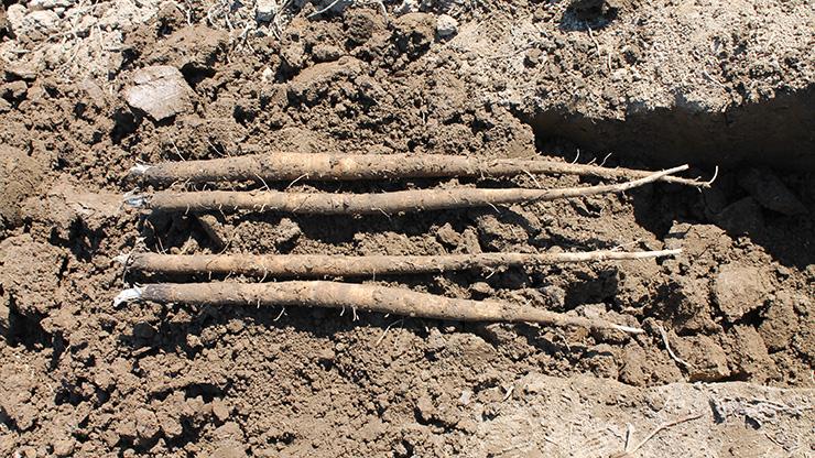 掘りあげた新鮮ゴボウ